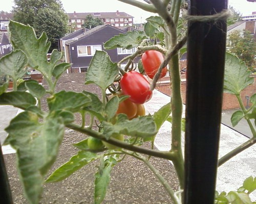 studio tomato