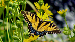 A Swallowtail's paradise (bdaryle) Tags: flower nature yellow butterfly wings sony tiger flor insects papillon mariposa swallowtail tigerswallowtail brandondaryle bdaryle imagesbybrandon onlythebestofnature