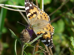 Painted Lady Butterfly. (Vanessa 'Cynthia' Cardui) (Enviro Dave) Tags: nature butterfly paintedlady vanessacardui