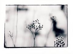 (júlía ∆) Tags: blackandwhite snow flower film 35mm olympus centered mygallery filma námskeið skanni