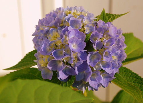 Last Days of Summer - Hydrangea