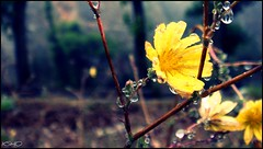 REAL WATER \ part 1 (Ruqayya Alyousuf) Tags: flower nature water yellow drops