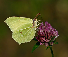 Brimstone butterfly (jan lyngby) Tags: flowers summer macro green nature animals yellow closeup canon focus dof violet butterflies insects 400mm telemacro eos400d hvidding