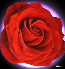 ROSA ROJA N 61 (VRNU) Tags: flores rosas vrnu misfavoritosinvitacin floresporlapaz andromeda50 mygearandmepremium mygearandmebronze mygearandme1 giveme5awardthenext5pictures buildyourrainbowpurple eliteclubpalace
