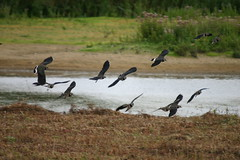 Lapwings in flight (Swenglishnick & Zimgirl) Tags: bird lapwing vanellusvanellus amwell