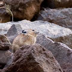Pika (nosha) Tags: summer nature beautiful beauty oregon landscape hare nw hiking or wildlife september chinchilla mthood hood f56 2009 pika lightroom 200mm blackmagic 115sec nosha 18200mmf3556 nikond40 115secatf56 summer2009 californiaoregon2009