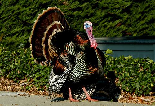 turkey oliver7