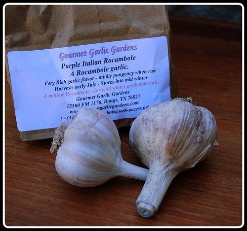 Garlic Purple Italian Rocambole