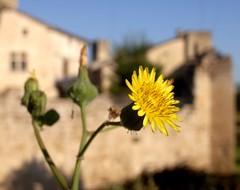 Quelque part dans le Gers, un jour de juillet (nekonoki) Tags: fleur château gers