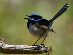 Superb Fairy-wren (Malurus cyaneus) (David Cook Wildlife Photography (kookr)) Tags: australia nsw superbfairywren maluruscyaneus rockyhall kookr sonyalphalearningcenter sonysal70400g