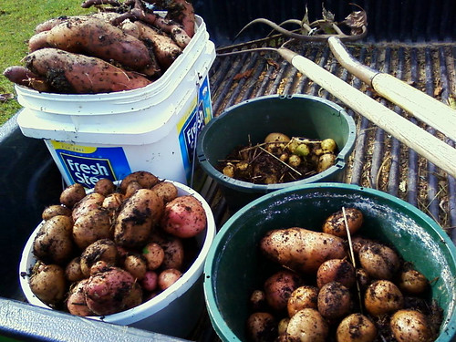 Today's potato harvest