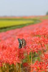 20090926 Yakachigawa 10 (Swallowtail) (BONGURI) Tags: butterfly nikon 愛知 aichi swallowtail spiderlily 彼岸花 d300 handa 蝶 揚羽蝶 アゲハチョウ チョウチョ ヒガンバナ 蝶々 ちょうちょ 半田 yakachi yakachigawa 矢勝川