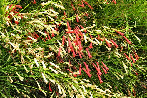 Russelia equisetiformis (rq) - 01