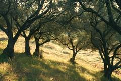 enchanted canopy (kosova cajun) Tags: morning trees landscape canopy albania olivegrove sauk olivetrees tirana shqipri farka peisazh shqipria tiran ullinj mngjes fark sauku