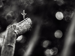 .long before acceptancE (27147) Tags: tree pen 50mm branch break bokeh cut voigtlander olympus bud f11 nokton budding ep1 27147