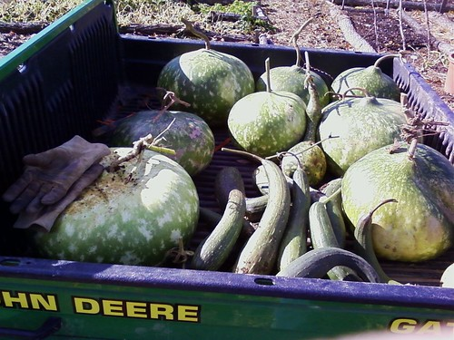 Gourd and Luffa harvest