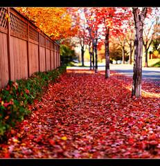 Path of Red (Chad Galloway Photo) Tags: street autumn trees red tree fall leaves photo colorado bokeh path sony picture denver sidewalk walkway fullframe dslr a850 bokehrama bokerama brenizermethod chadgalloway