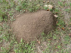 Texas Fire Ant Nest in October