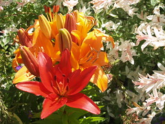 lily (Gloria1207) Tags: pink summer orange flower lily mygarden asiatic gmm1207 gloria1207