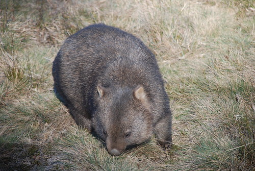Wombat - Cradle Mountain