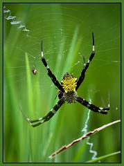 Hawaiian Garden Spider (Argiope appensa) (TT_MAC) Tags: nature spider insects gardenspider naturesfinest argiopeappensa hawaiingardenspider