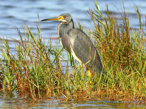Tricolored Heron 20091128