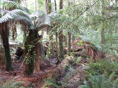 Tree ferns (Joybelle007) Tags: trees sun moss scenery ferns tarkine
