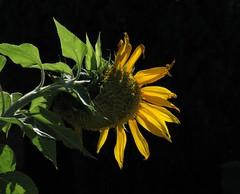 Sunflower - backlit