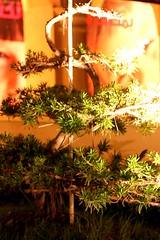 bonsai (v7a6uv) Tags: jay ella thepearl qatar