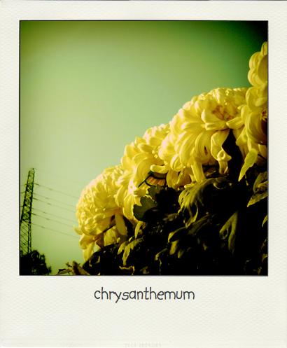09-12-13chrysanthemum.pola