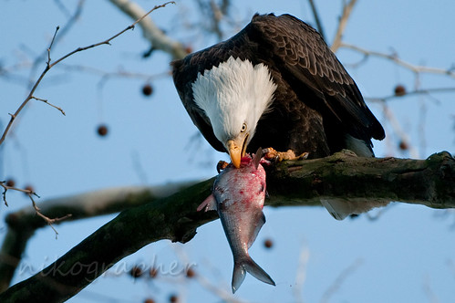 Flickriver: Nikographer [Jon]'s photos tagged with bald eagle