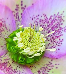 Winter Rose (ajpscs) Tags: flower macro japan japanese winterrose tokyo nikon shinjuku  nippon   christmasrose  tamron   shinjukugyoen tamron90mm excellence helleborusniger d300 snowrose  wintertospring ajpscs  shinjukugyoennationalgarden colourartaward