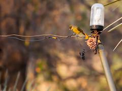 Bulbul à poitrine jaune/Chlorocichla flaviventris (odileva) Tags: bulbul à poitrine jaunechlorocichla flaviventriszambezizambianatureoctobreoiseauxbulbulàpoitrinejaunechlorocichlaflaviventris zambezi zambia nature octobre oiseaux livingstone southernprovince zambie flaviventris