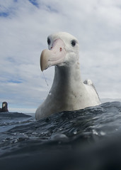 Antipodean Albatross (Baractus) Tags: wandering albatross kaikoura pelagic new zealand john oates antipodean gibsons