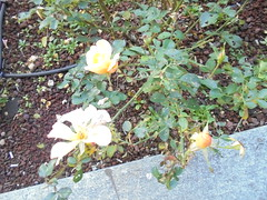 064 (en-ri) Tags: rose roses giallo foglie leaves sony sonysti