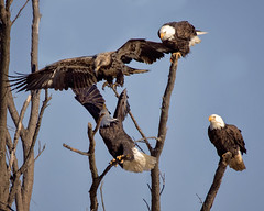 Multiple Eagles (AmyBaker0902) Tags: bald eagle lock dam 14 mississippi river sigma 150600 contemporaru