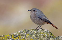 Black Redstart (oddie25) Tags: canon 1dx 600mmf4ii redstart blackredstart breandowns brean winter bird nature wildlife