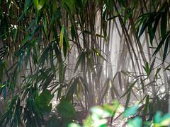 Selection 2016 (spline_splinson) Tags: brissago lagomaggiore switzerland bamboo bambus fog isolabrissago swiss roncosopraascona ticino schweiz ch