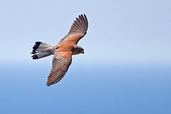 Falco naumanni (namq) Tags: greece rodos rhodes falconaumanni lesserkestrel 20090621t075937mg8051 pustueczka