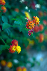 HBW! (apoklistika) Tags: flowers summer island 50mm f14 croatia 2009 hvar hbw pentaxk10d apoklistika