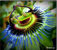 Close encounters (Roamer 57 (Not Around Much)) Tags: blue green nature garden purple passionflower twop theworldwelivein excapture platinumpeaceaward poalolivornosfriends