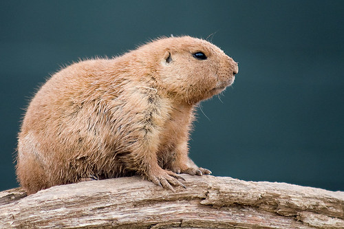 Black tailed prairie dog 3