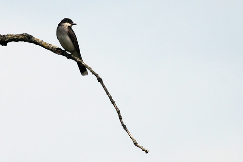 Phriday Photo – Hungry Eastern Kingbird