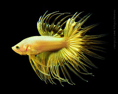 my gold crowntail (louie imaging) Tags: show fish beautiful beauty gold aquarium golden very quality live tail ct siamese exotic crown alive fighting betta crowntail import rare indonesian poissons freshwater rarity scarce exceptional bettas splendens colorphotoaward