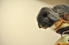DSC_0066 (rabbitier) Tags: blue cute rabbit bunny nikon adorable fluffy lopear lapin usagi hollandlop   d90