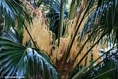 Livistona australis - Cabbage Palm (Black Diamond Images) Tags: flowers flower palms rainforest native australia greatlakes palmtrees nsw queensland forster wallislake livistona arecaceae bdi livistonaaustralis midnorthcoast cabbagepalm rainforestplants rainforestplant arfp australianrainforestplant australianrainforestplants flowersrainforest floweraustralian vrfp nswrfp qrfp wallingatnationalpark whootawhootalookout australianrainforestflowers arfflowers australianrainforestflora flowersaustralian