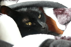 Screw the world, Im going to lie under my blanket (_Nathan_W_) Tags: black cold cute cat blanket conrad