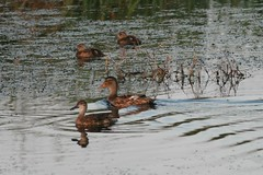 Anas crecca carolinensis (Green winged Teal) -...