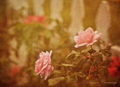 In the Pink (SLEEC Photos/Suzanne) Tags: flowers texture floral rose fence nikon action bokeh picketfence d80 betharmsheimertexture florabellatexture michellenicoleaction