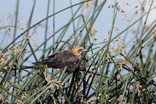 Juvenile Yellow-headed blackbird (Xanthocephalus xanthocephalus) #3